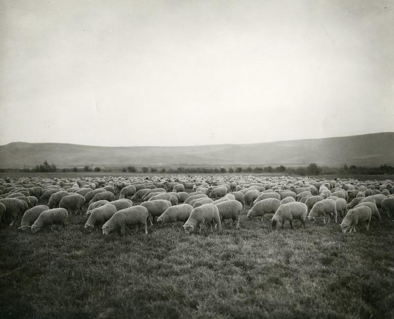 NW Sheep (#1).tif
