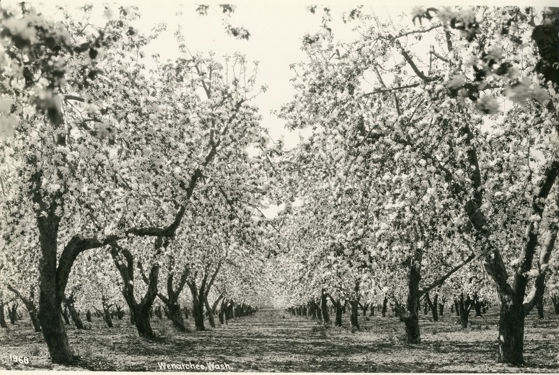 NW- Apple Orchards (#2).tif