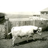 NW_Cattle007.tif