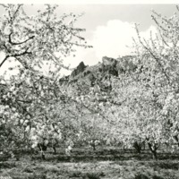 NW _apple_orchards001.tif