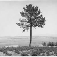 Indians_Treaty_Tree02.tif