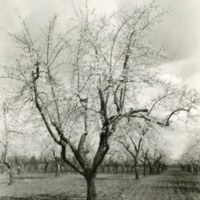 NW- Apple Orchards (#3).tif